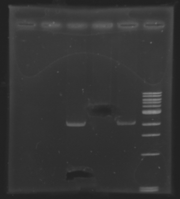 File:Extractionafter biobricks 130710.jpg