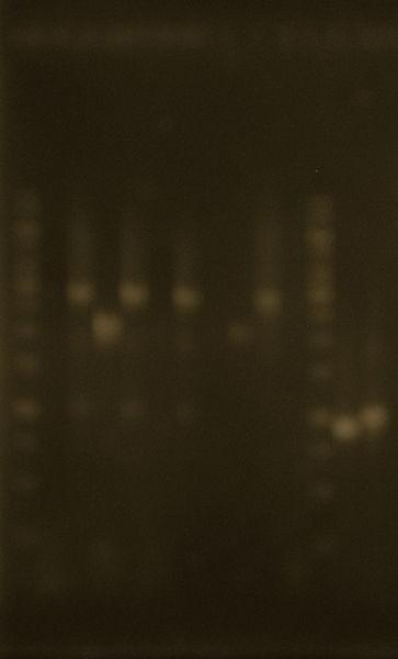 File:PCR purif.JPG