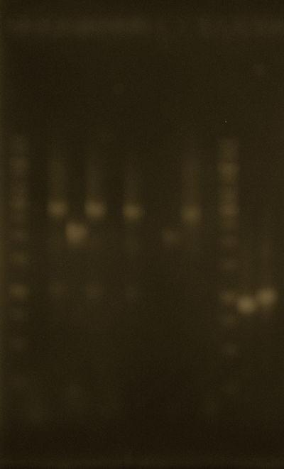 PCR purif.JPG