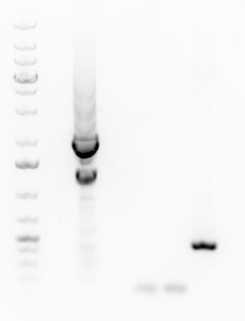 2015-11-02 gel extraction of HPK-CFP.jpg