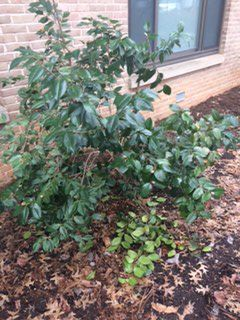 File:4x4 ft round bush.jpg