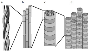 The structure of collagen [3]