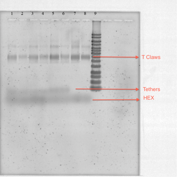 Figure 17-TClaw and Hex Strands SYBR stain Gel