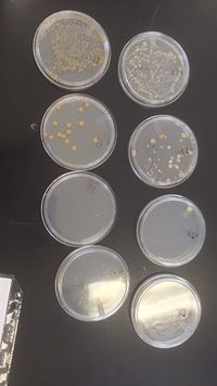 Figure 3.2. Picture of the Agar Plates from the Hay Infusion Culture.