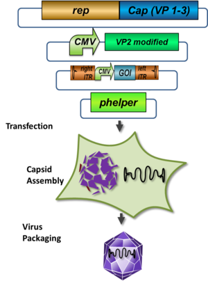 schematic illustration of the pHelper system for virus production in AAV-293 host cells