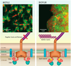 Motile B. subtilis cells are powered by interactions between protein complexes, generating torque for locomotion. The protein EpsE acts as a molecular clutch to disengage the flagellar motor, leaving the flagellum intact but unpowered. This quickly halts locomotion[2]