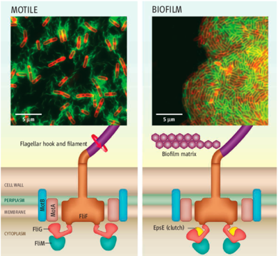 Motile B. subtilis cells are powered by interactions between protein complexes, generating torque for locomotion. The protein EpsE acts as a molecular clutch to disengage the flagellar motor, leaving the flagellum intact but unpowered. This quickly halts locomotion[1]
