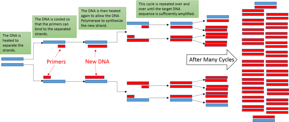 PCR diagram.png