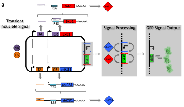 Example of the recombinase-based logic gate displaying two-input-one-output Boolean logic gate detailed by Siuti, P. Yazbek, J. Lu, T. Nat. Biotechnol. (2013)
