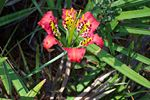 Lilium catesbaei (pine lily) at Brooker Creek Preserve, Pinellas County, FL. Photo by Kristen Penney Sommers.