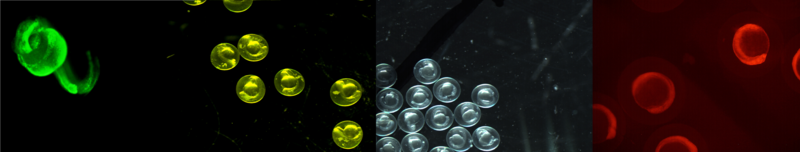 Zebrafish embryos (left to right) injected with fluorescein, under normal light and injected with Cherry RNA