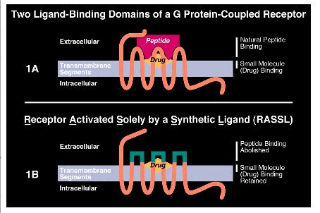 Two ligand binding.tiff