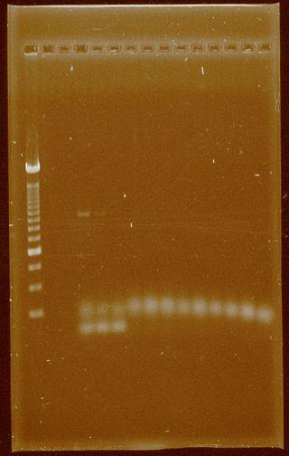 Dramirez 24-09-11 PCRsconcentrated Pfx.jpg