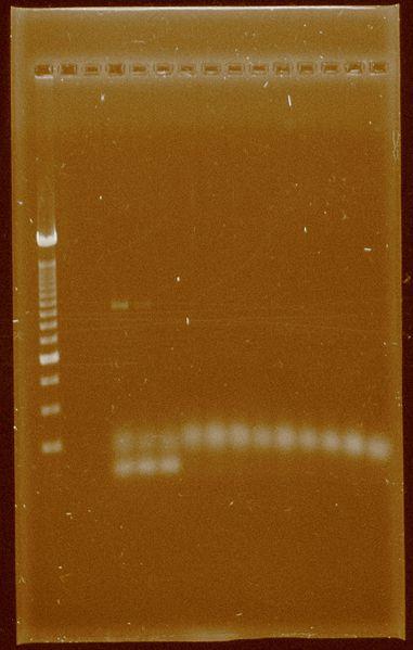 File:Dramirez 24-09-11 PCRsconcentrated Pfx.jpg