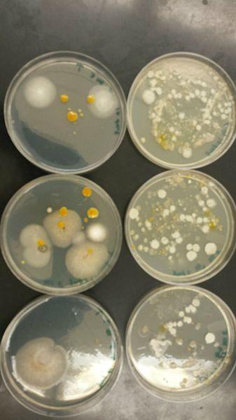 File:BacteriaColonies.jpg