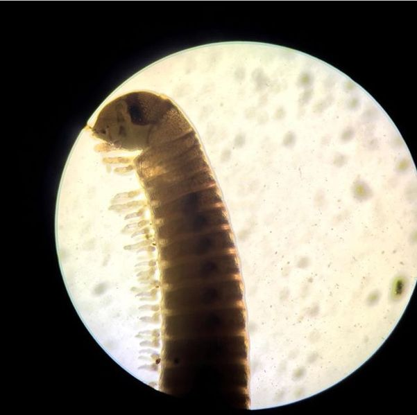 File:Diplopoda Transect.jpg