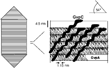 "GvpA acts as the ""ribs"" of the gas vesicle while GvpC acts as the ""glue""[1]"