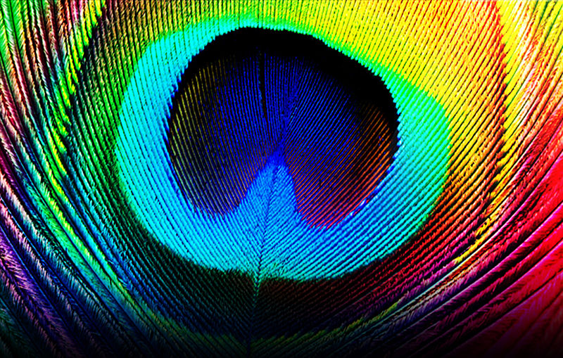 Image:Peacock feather.jpg
