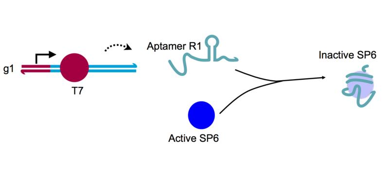File:Sp6 apt&sp6RNAP.png