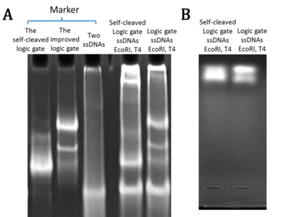 Figure 25. The native PAGE (A), agarose electrophoresis (B) of three strands after annealing, digestion and polymerization. [Logic gate], [substrate]=5μM, digestion time= 1h20min, ligation time=2h. (From BIOMOD Team Tianjin 2012.)