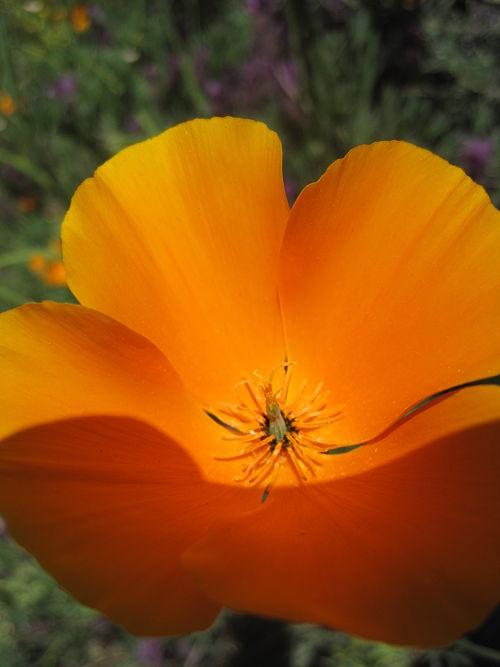 Flora Golden Poppy.JPG
