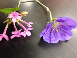 The above image is of two flower samples that were taken from Transect 5. The flower samples were taken because no seeds were found, so the flowers were used to determine whether certain plants were monocot or dicot. It was determined that both these flower samples were dicot, as they had petals in groups of five.