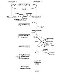 Chlorophyll degradation pathway, Annu. Rev. Plant Physiol. Plant Mol. Biol. 1999. 50:67–95