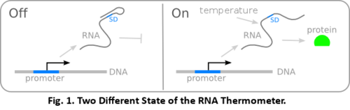 Rna thermometer.png