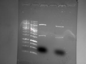 ChemiDoc 2013-02-05 11hr 25min pSB-M1g cut AgeI PciI.png