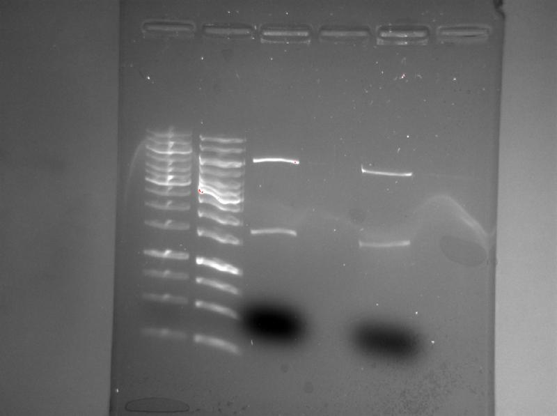 File:ChemiDoc 2013-02-05 11hr 25min pSB-M1g cut AgeI PciI.png