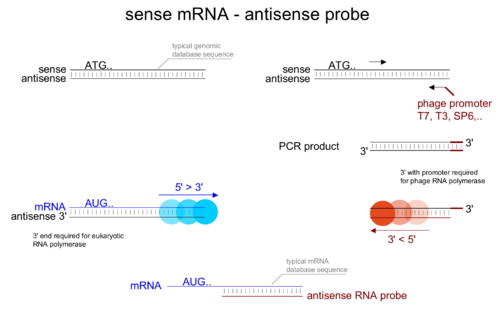 Probes need to be antisense respective to the mRNA to be able to bind their target. Care has to be taken during experimental design to make a suitable antisense probe.