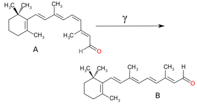 Chromophore mechanism. A photon induces the straightening of the ring