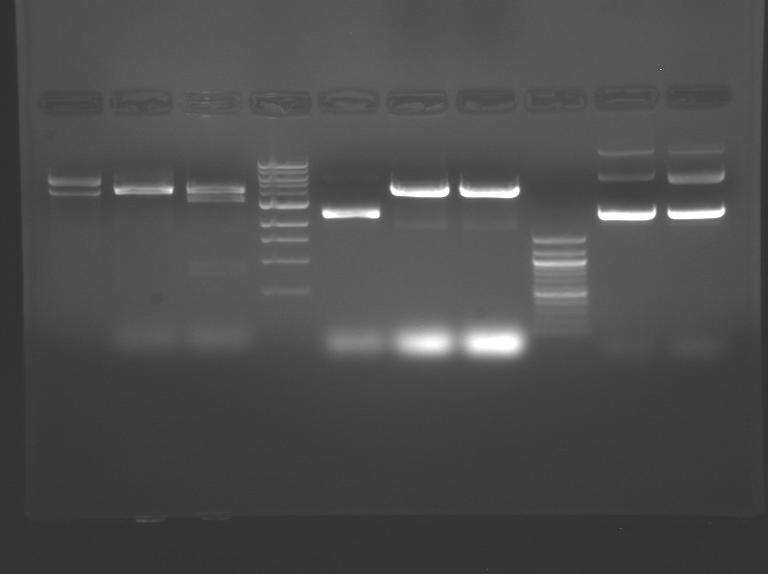 File:S10 M2D5 WF gel-Green.jpg
