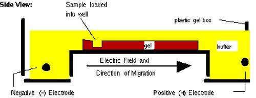 BE.109:DNA engineering/Agarose gel electrophoresis - OpenWetWare