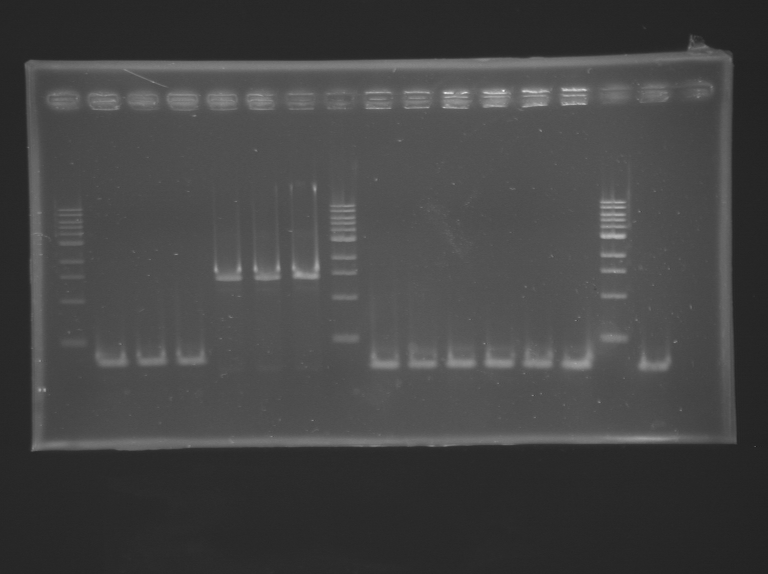 File:IGEM Paris RG PCR 25 07 2012-1.BMP