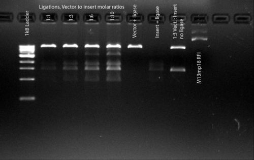1% agarose gel, 0.5 mg/mL EtBr0.5x TBE 0.5hrs@130V