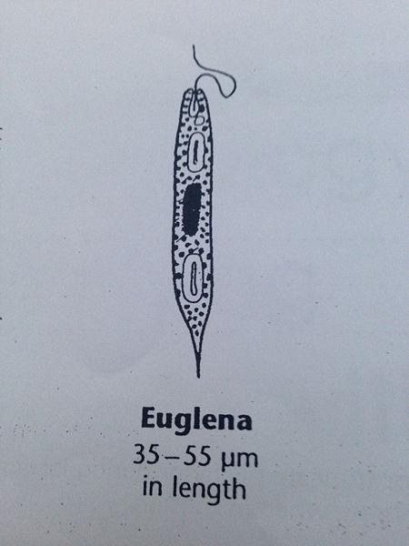 File:EuglenaDEF.JPG