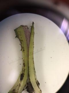 File:AlyssaLillian Plant5CS.JPG