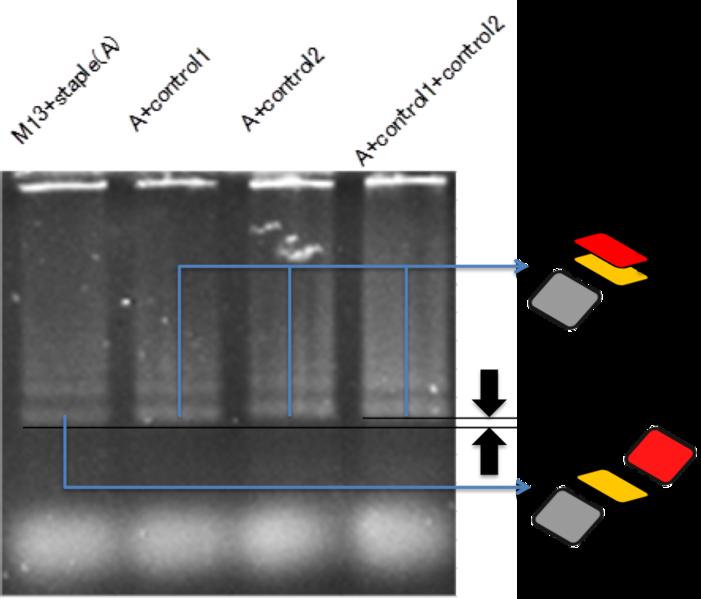 File:Biomod-2012-UTokyo-UT-Hongo-closeDNAelectrophoresis.png