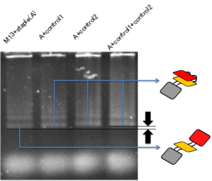 Fig. 2.2.1 Electrophoresis result of when the DNA shell is open and closed