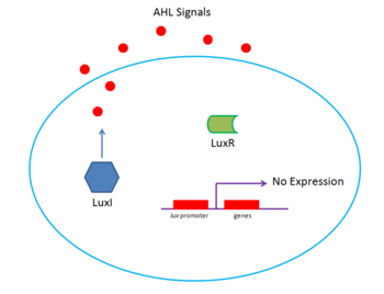Lux system at low density. Low concentration of the autoinducer AHL prevents efficient binding of LuxR transcription factor, blocking expression.