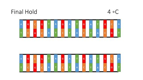 PCR Illustration 6.jpg