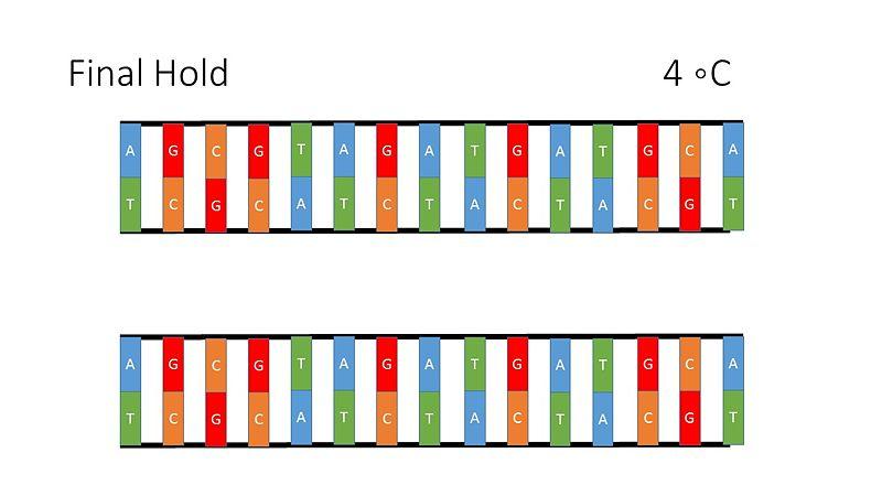 File:PCR Illustration 6.jpg