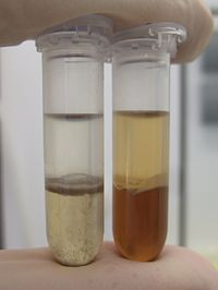 Phenol/chloroform extraction of mostly genomic DNA from different tissue samples. Left: mouse tail sample; right: parallel extraction from mouse liver sample.