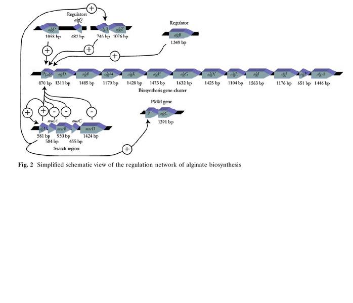 File:Alg biosynth.jpg