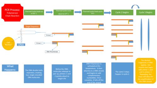 pcr diagram pcr schematic diagram bme100 f2014:group1 l4 - openwetware