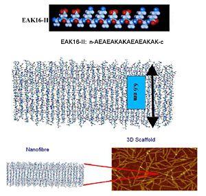 Molecular structure of EAK16-II peptide