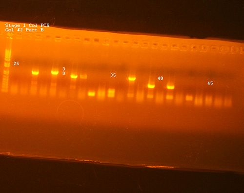 Stage 1 Col PCR Gel 2 Part B.jpg