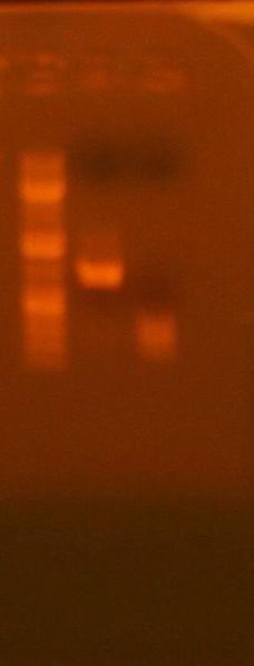File:7-7 analytical gel 213, 239 GG.jpg