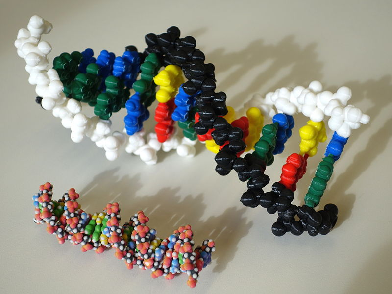 File:DNA PLA and powder model.JPG